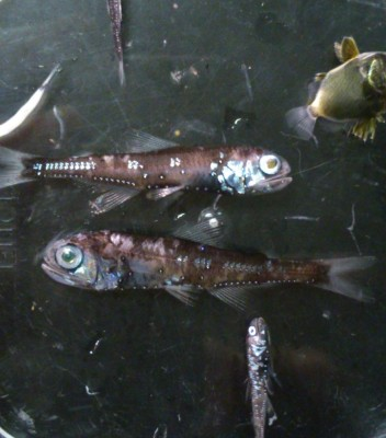 中深層性魚類