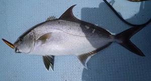 釣たてのヒレナガカンパチ
