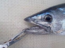 鋭い歯が魚名の由来