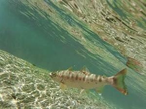 透き通った球磨川を泳ぐ美しい春ヤマメ