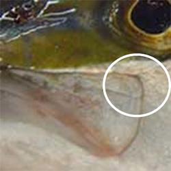 ヒラマサの主上顎骨後端が円い