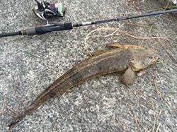 いい型のマゴチも釣れました