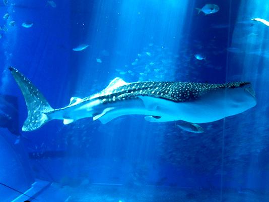 北部薩南海域に来遊したジンベエザメの餌生物